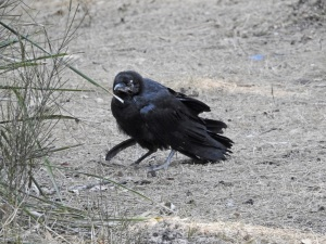 17-10-diseased-raven-above-maloneys-beach-1