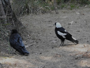 17-10-diseased-raven-and-magpie-above-maloneys-beach-2