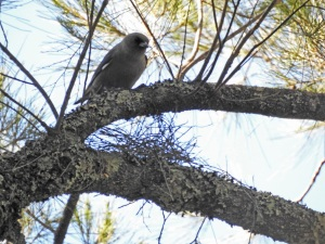 17-10-dusky-woodswallow-belowra-3