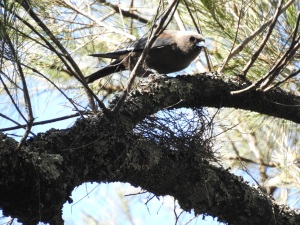 17-10-dusky-woodswallow-belowra-5