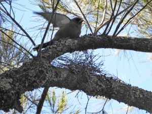 17-10-dusky-woodswallow-spreading-wings-belowra-2