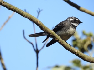 17-10-fantail-barlings-swamp