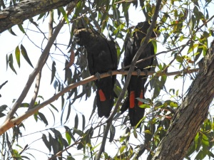 17-10-glossy-black-cockatoos-near-belowra-1