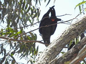 17-10-glossy-black-cockatoos-near-belowra-10