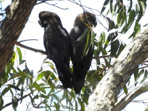 17-10-glossy-black-cockatoos-near-belowra-12