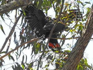 17-10-glossy-black-cockatoos-near-belowra-2