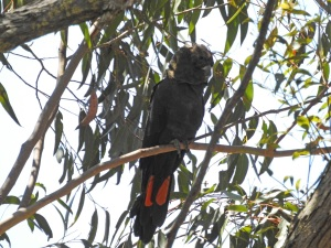 17-10-glossy-black-cockatoos-near-belowra-5