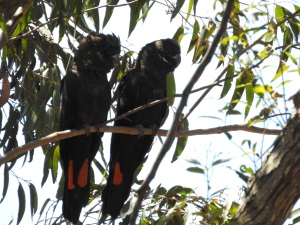 17-10-glossy-black-cockatoos-near-belowra-6