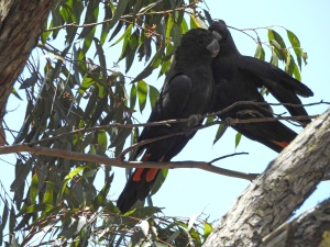 17-10-glossy-black-cockatoos-near-belowra-8