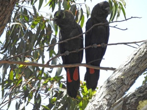 17-10-glossy-black-cockatoos-near-belowra-9