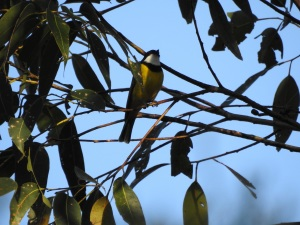 17-10-golden-whistler-in-bush-behind-banksia