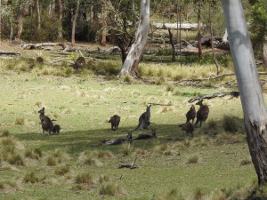 17-10-kangaroos-at-belowra