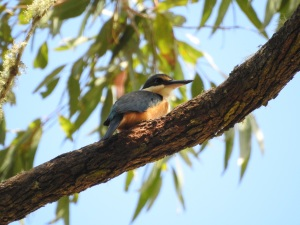 17-10-kingfisher-at-belowra-3