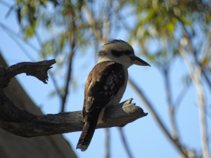 17-10-kookaburra-above-maloneys-beach