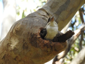17-10-kookaburra-in-nesting-hole-at-barlings-swamp-1