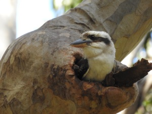 17-10-kookaburra-in-nesting-hole-at-barlings-swamp-3