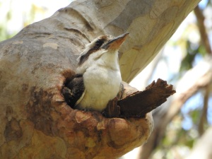 17-10-kookaburra-in-nesting-hole-at-barlings-swamp-4
