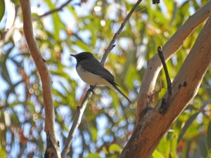 17-10-leaden-flycatcher-above-maloneys-beach-3