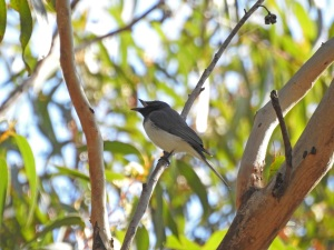 17-10-leaden-flycatcher-singing-above-maloneys-beach