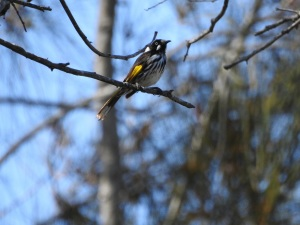 17-10-new-holland-honeyeater-at-barlings-swamp