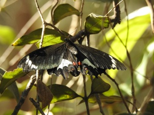 17-10-orchard-butterfly-maloneys-beach-2