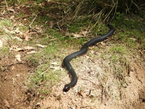 17-10-red-bellied-black-snake-at-belowra-1