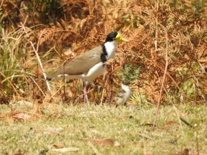 17-10-spur-winged-plover-adult-and-juvenile-maloneys-beach-2