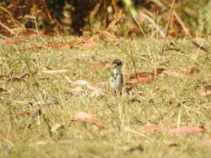 17-10-spur-winged-plover-j-maloneys-beach-2