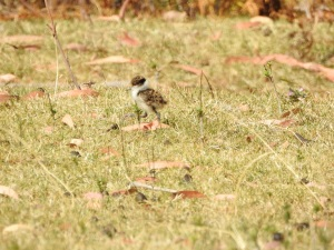 17-10-spur-winged-plover-j-maloneys-beach-4