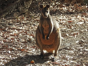 17-10-swamp-wallaby-eating-orange-peel-above-maloneys-beach-1