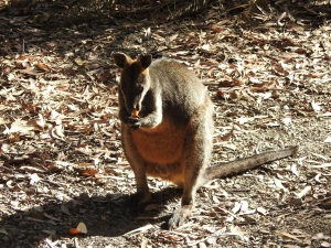 17-10-swamp-wallaby-eating-orange-peel-above-maloneys-beach-2