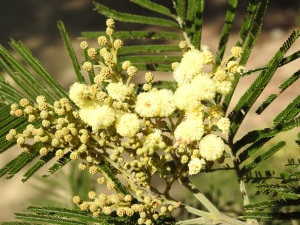17-10-wattle-at-barlings-swamp