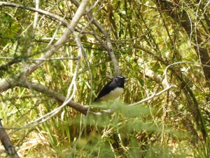17-10-willie-wagtail-at-belowra-2