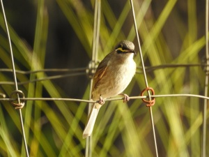 17-10-yellow-faced-honeyeater-in-eurobodalla-regional-botanic-gardens-2