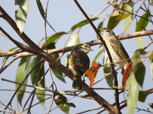 17-10-yellow-faced-honeyeaters-in-eurobodalla-regional-botanic-gardens