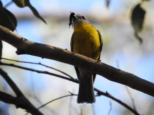 17-10-yellow-robin-with-catch-belowra