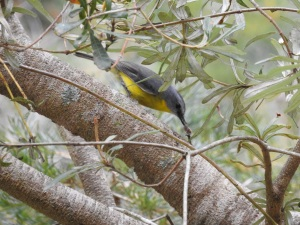 17-10-yellow-robin-with-catch-eurobodalla-regional-botanic-gardens-1