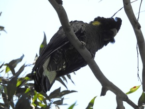 17-10-yellow-tailed-black-cockatoo-at-barlings-swamp-5