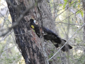 17-10-yellow-tailed-black-cockatoo-in-bush-behind-banksia-1