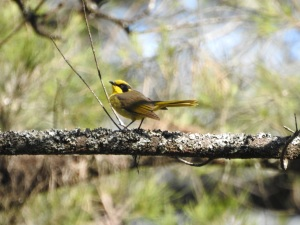 17-10-yellow-tufted-honeyeater-belowra-3