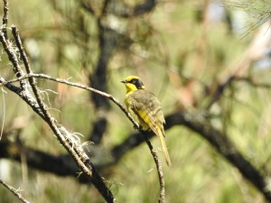 17-10-yellow-tufted-honeyeater-belowra-7