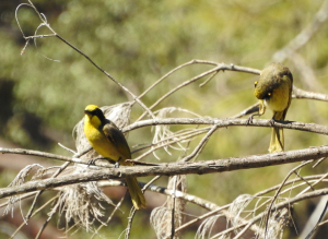 17-10-yellow-tufted-honeyeater-at-tuross-river-2