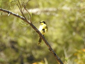17-10-yellow-tufted-honeyeater-poking-out-tongue-at-tuross-river