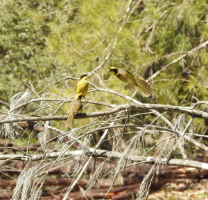 17-10-yellow-tufted-honeyeaters-screeching-at-tuross-rivera
