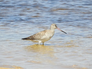 17-11-bar-tailed-godwit-at-brou-lake-1