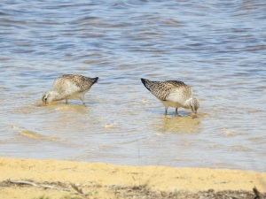 17-11-bar-tailed-godwits-at-brou-lake-1
