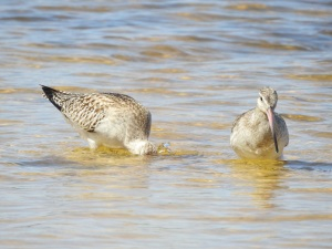 17-11-bar-tailed-godwits-at-brou-lake-5