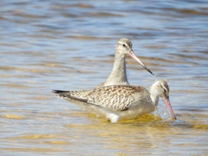 17-11-bar-tailed-godwits-at-brou-lake-7