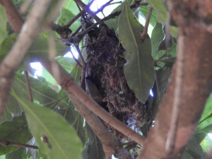 17-11-birds-nest-at-mogo-zoo