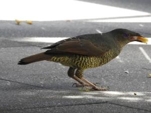 17-11-bower-bird-with-cheese-at-mogo-zoo-2